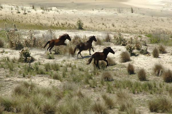 Cumberland Island National Seashore - Cumberland Island Horses